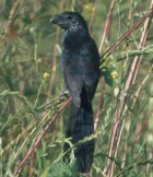 Groove-billed Ani - Photo copyright Don DesJardin