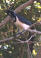 Black-throated Magpie-Jay - Photo copyright Steve Metz