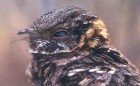 Buff-collaared Nightjar - Photo copyright Manuel Grosselet