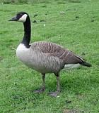 Moffitt's Canada Goose - Photo copyright Myles Lamont