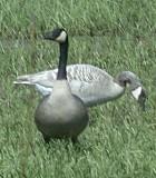 Leucistic Canada Goose - Photo copyright Tina MacDonald