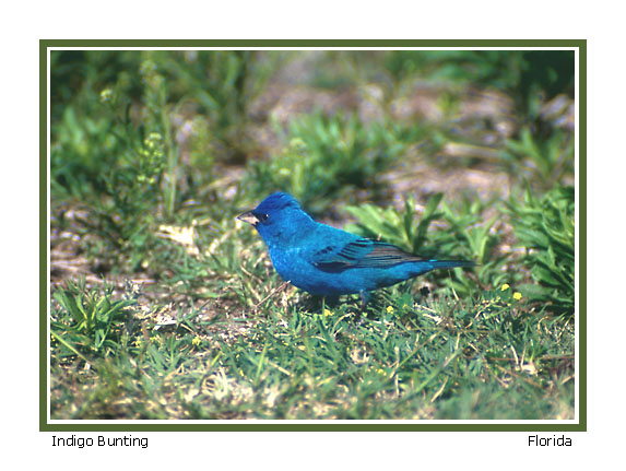 Return to Indigo Bunting page.  Don DesJardin.  Photo.