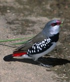 Diamond Firetail - Photo copyright Trevor Quested