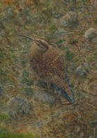 Eskimo Curlew - Image copyright Barry MacKay