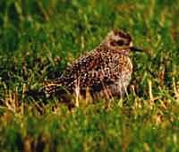European Golden Plover - Photo copyright Erik Kleyheeg