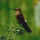 Giant Hummingbird - Photo copyright Jeremy Barker