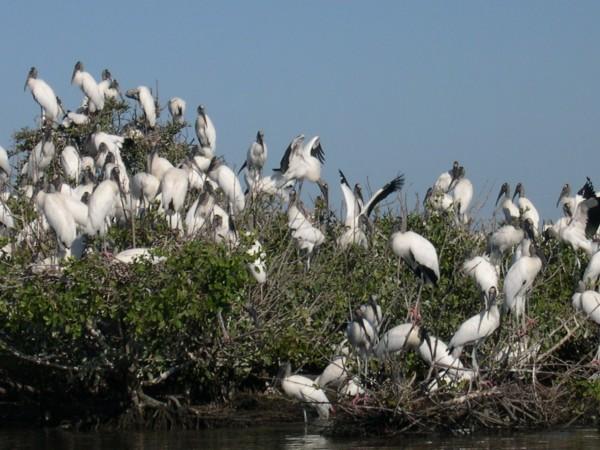 http://www.camacdonald.com/birding/Grosselet/WoodStork(MG).jpg