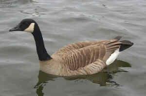 canada goose black friday vancouver