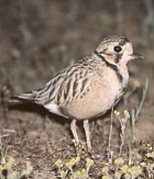 Inland Dotterel - Photo copyright David Massie