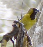 Jamaican Oriole - Photo copyright Ronald Orenstein