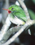 Jamaican Tody - Photo copyright Allen Chartier