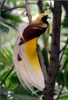 Lesser Bird-of-Paradise - Photo copyright Doug Janson