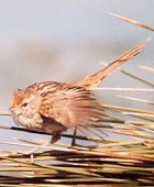 Little Grassbird Photo