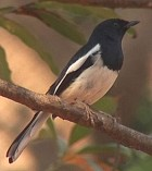 Madagascar Magpie-Robin - Photo copyright Wim van der Schot