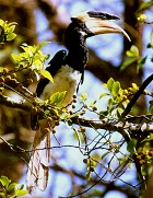 Malabar Pied Hornbill - Photo copyright Saleel Tambe