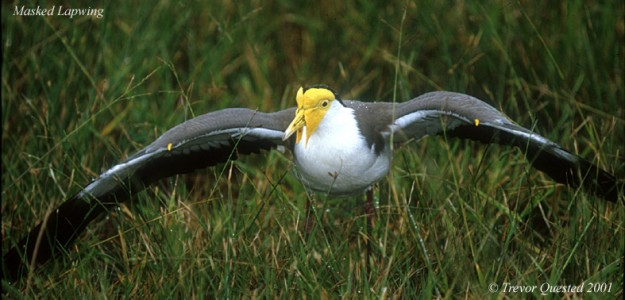 Masked Lapwing - Photo copyright Trevor Quested