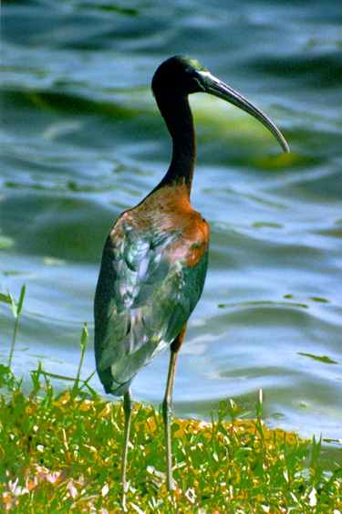 screensavers of birds glossy ibis collection