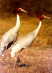 Sarus Crane - Photo copyright Saleel Tambe