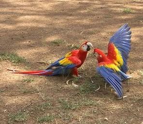http://www.camacdonald.com/birding/ScarletMacaws(fighting)(JC).jpg