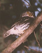 Tamaulipas Pygmy-Owl - Photo copyright Steve Metz