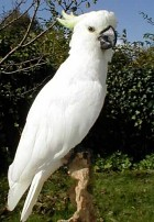 free online images of crested cockatoo parrot