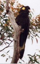 Y^ellow-tailed Black-Cockatoo - Photo copyright Trevor Quested